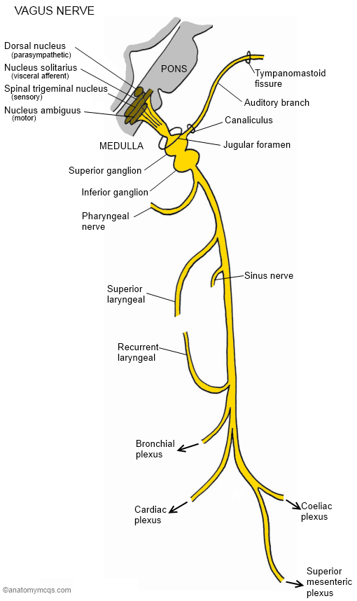 Vagus Nerve Diagram Vagus Nerve Branches